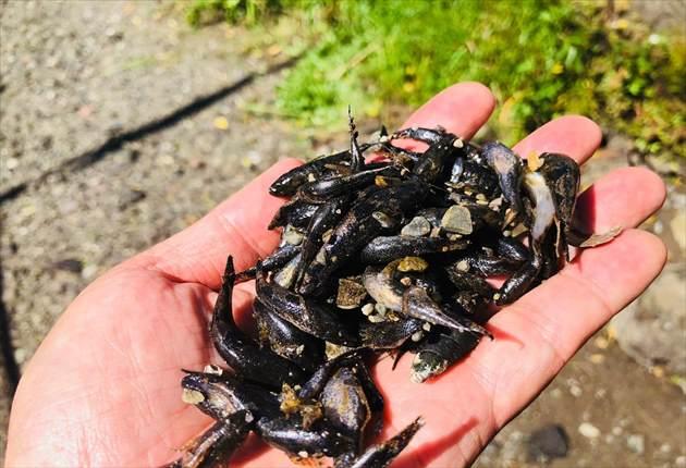 2018年10月1日 本宮川が水無川になり死んでしまったドンコ達の写真